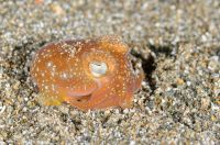 Unidentified Bobtail squid